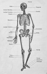 1380377_the_human_skeleton.jpg