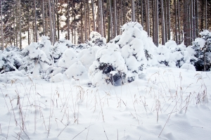1409803_snowy_spruce_forest_in_winter.jpg