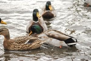 mallard-duck-1438135-5-m