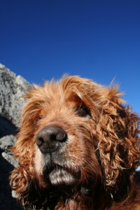 royal-dog-1446188-2-m.jpg