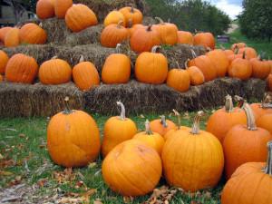 pumpkin-patch-1562467-300x225