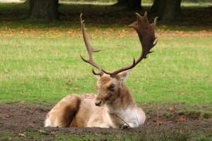 deer-1387132